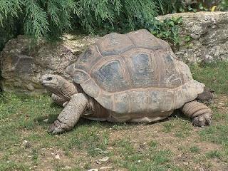 Aldabra Giant Tortoise.