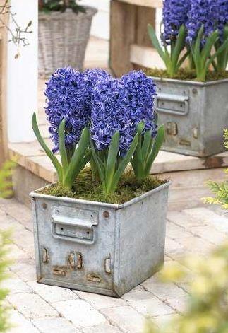 Hyacint Blue Pearl