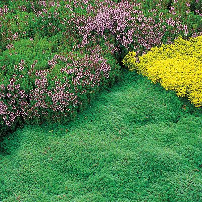 Creative use of ground covers: thyme and oregano