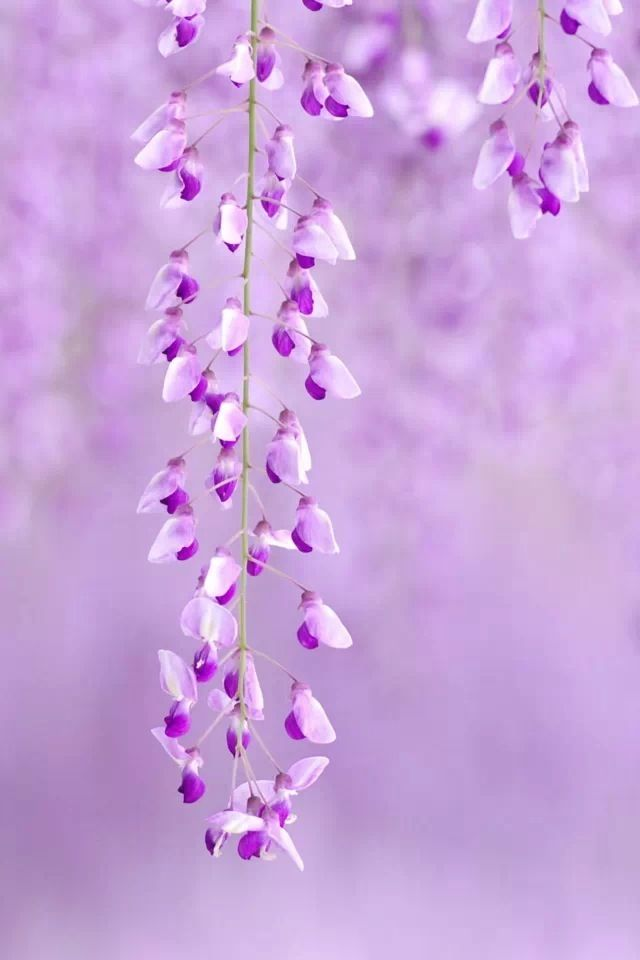 lavender flowers wallpapers 2560x1440 - photo #28