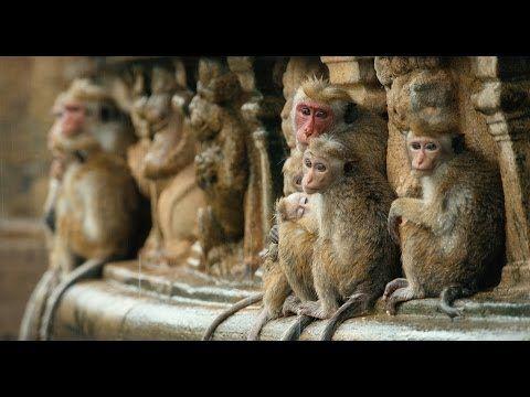 Why I LOVE Disneynature's MONKEY KINGDOM {Review} #MonkeyKingdom -