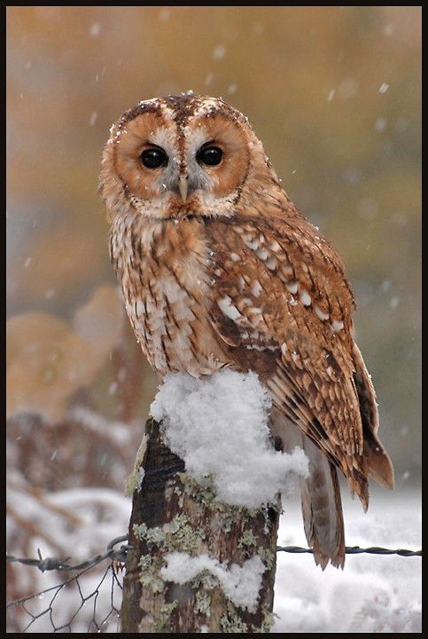 Tawny Owl: Photo by Photographer Ron Coulter - photo.net