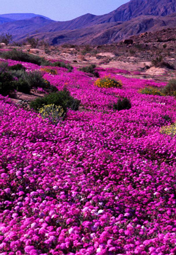 Spring Wildflowers, Anza-Borrega State Park, CA: San Diego, Spring Flower, Southern California, States Parks, Spring Wildflowers, Anza Borrega States, Natural Beautiful, U.S. States, Hot Spring