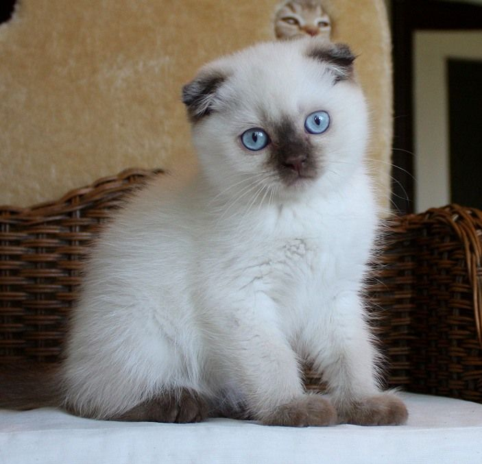 I want this cat!!! Scottish Fold chocolate point