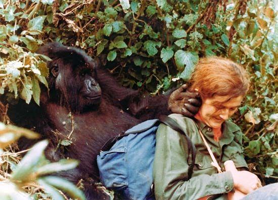 Dian Fossey relaxing with Puck, a female mountain gorilla--©Dian Fossey Gorilla Fund International
