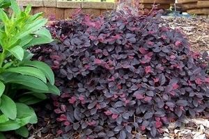 Top 10 Most Colorful Winter Landscape Plants: Dwarf Loroptalum called Purple Pixie matures to 18 to 24 inches in height and a 3 to 4 foot spread.