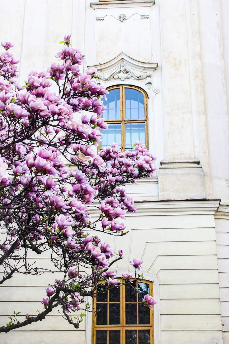 Magnolia trees in April.🌸 Oradea, Romania. #findyourcalling #pink #white #magnolia #architecture