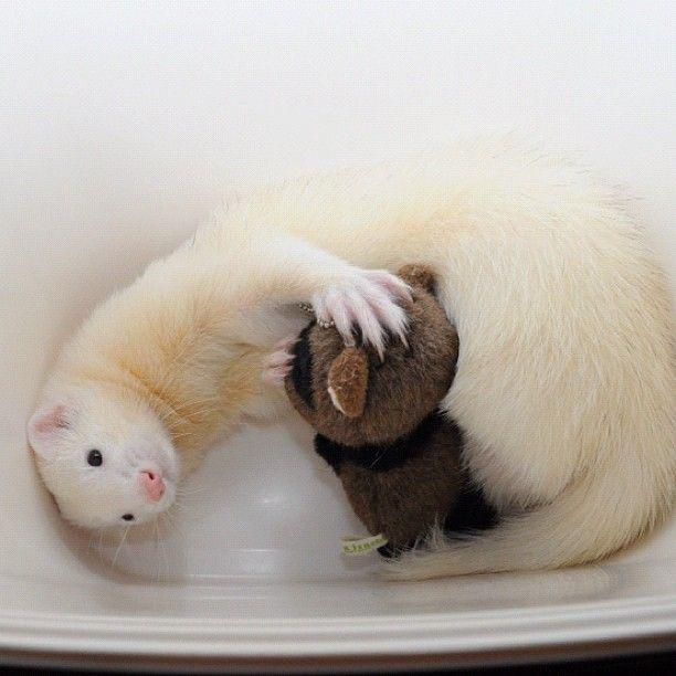 PHOTO OP: Ferret Cuddles Via @Marissa Hereso Hereso Miller. How cute.