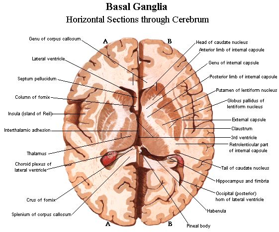 Unlabeled Brain Diagram, Thing That You Need To Learn or Get ...