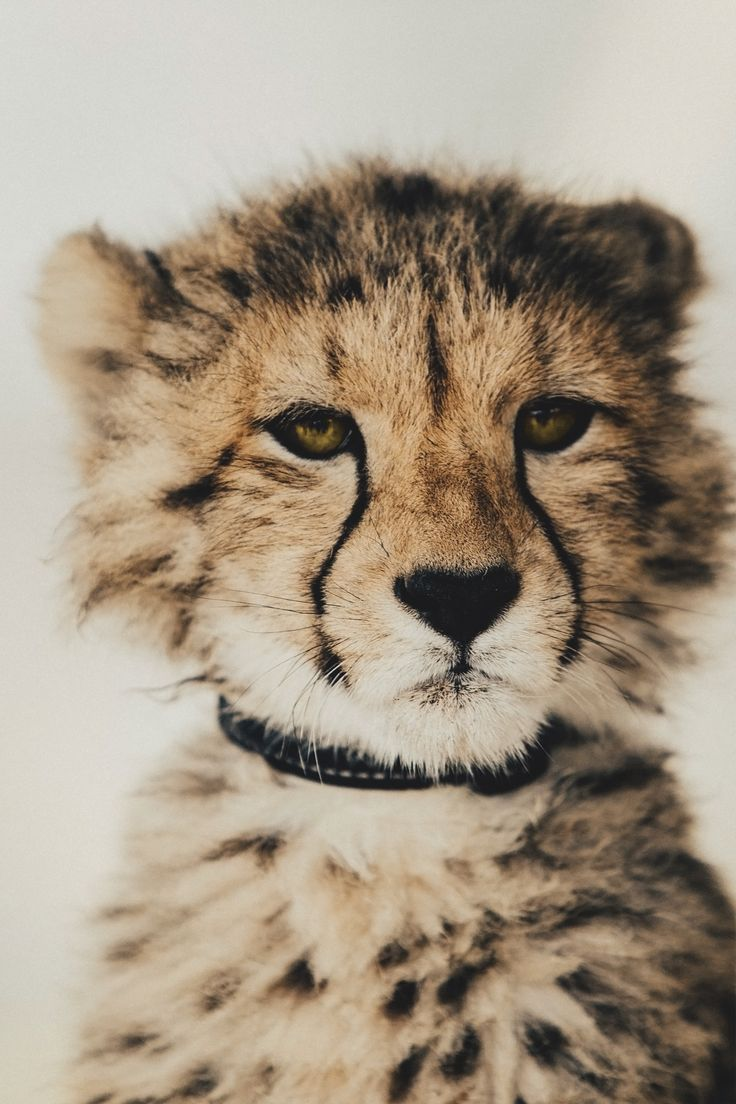 AnimalsFree in 2020 | Baby cheetahs, African cats, Super ...