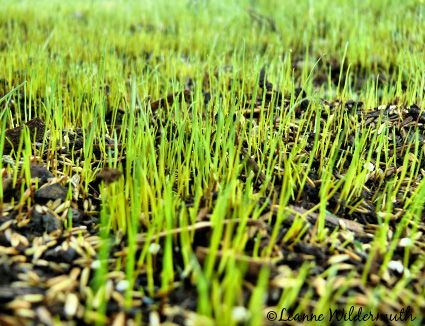 tips to grow grass from seed, fast for the dead spots thanks to my dogs