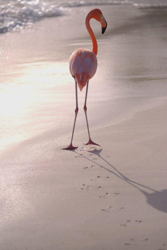 Flamingo in Aruba