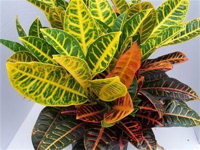 Croton Petra has beautiful multi color leaves.