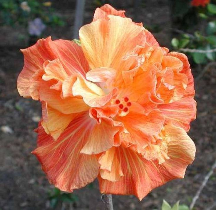 Rare Double Orange Yellow Hibiscus Seeds Giant Dinner Plate Fresh Flower Garden Exotic Hardy Flowering Perennial 365 by ToadstoolSeeds on Etsy