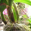 Como dividir e replantar orquídeas