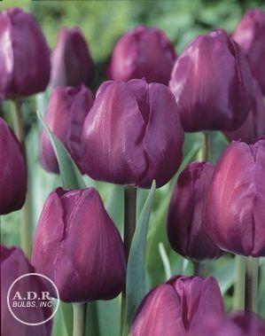 Tulipa triumph 'Negrita' Tulip