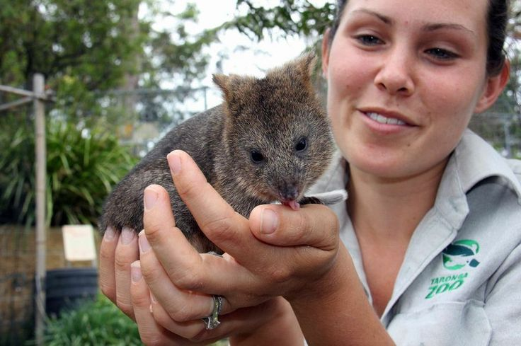 Zoo keeper Bec Russell-Cook has been waking up at 2 a.m. to bottle-feed little Mia. Who knew someone so cute could be so much work? | There's A New Teensy Baby Quokka To Obsess Over