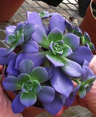 Blue Echeveria ...
