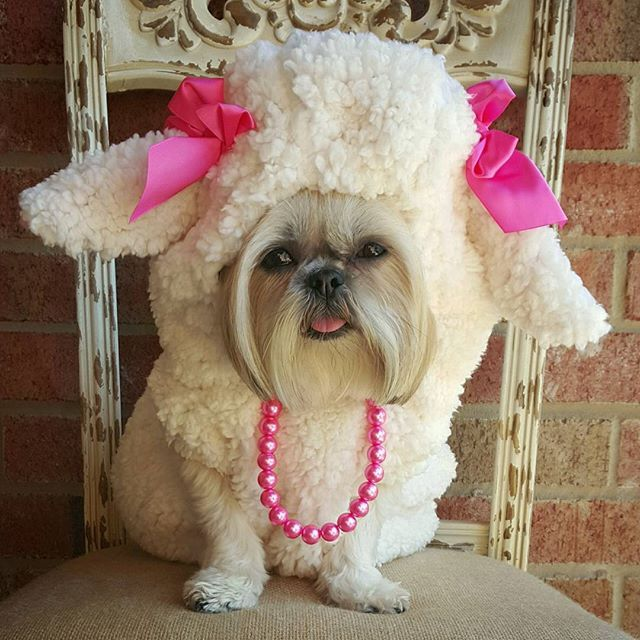 Thank you to my friend @fabulous_shihtzu for featuring Sparkles on your blog @fluff.stuff for a Halloween wrap up. Visit www.puchic.com for all the details!