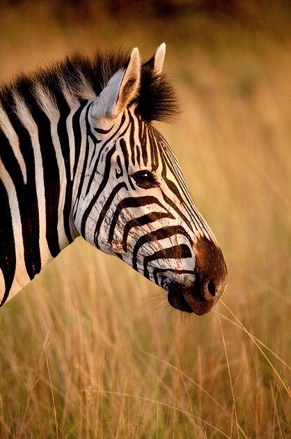 AMAZING Photographer: James RD Scott - Zebra Hluhluwe Imfolozi Park, South Africa