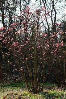 Winterschneeball 'Dawn' - für Bienen, eher schmal!