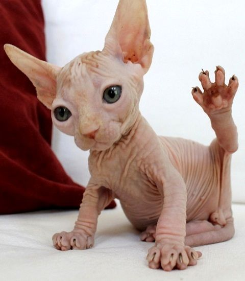 Sphynx baby...what sweet little toes!