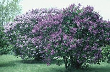 Guide to pruning and growing vital lilac bushes (since I plan to plant a few this spring!)