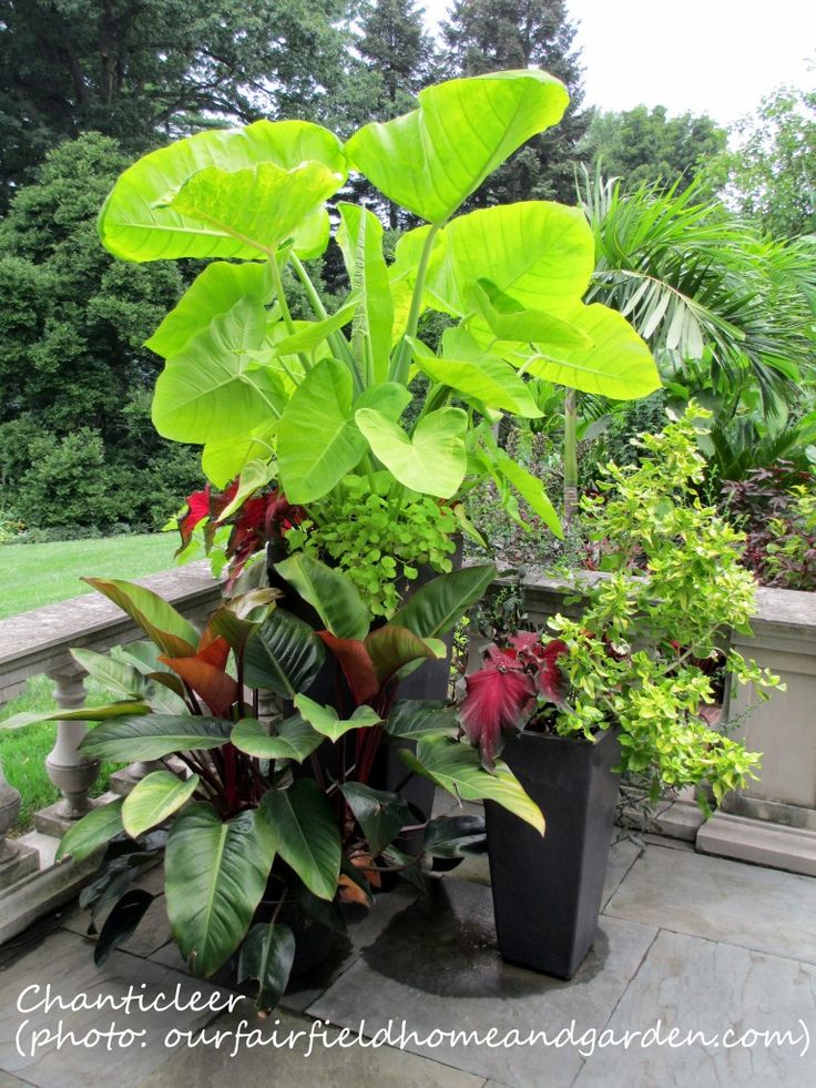 tropical containers - try this beside the rock in the shallow end of the pool