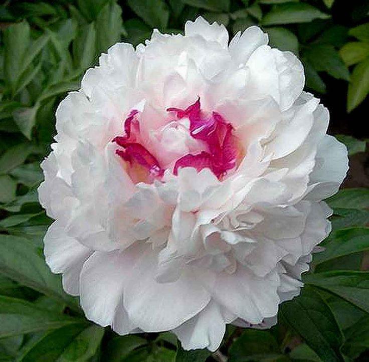 ~Double Peony 'Fen Chi Jin Yu' (Paeonia lactiflora)