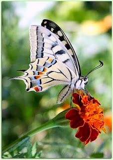superbes papillons! 2709404d00c1fbbbd5948087913059fb--old-world-machaon