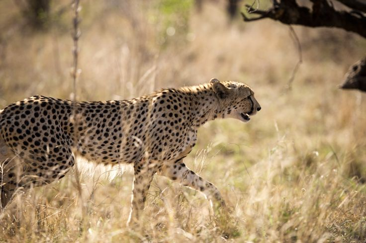 Cheetah at Kruger National Reserve in Johannesburg, South Africa [Travel Photography]