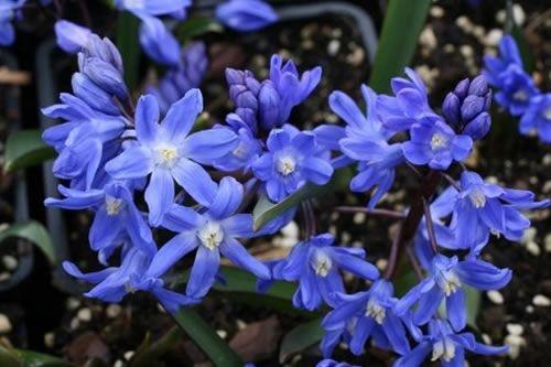 Chionodoxa sardensis    Startpagina > Catalogus > Chionodoxa sardensis         De Chionodoxa sardensis (Sneeuwroem) heeft een groen blad en zijn bloem is blauw van kleur.  Deze plant bloeit van maart tot april en wordt ongeveer 15 cm hoog.   Heb ik nu voor in de tuin staan, wordt er helemaal blij van als ze staan te bloeien.
