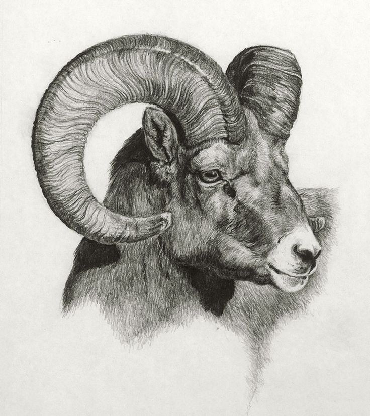 Ram, graphite on paper by Heather Theurer
