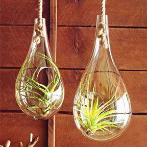 The graceful glass hangers can provide a special home to your air plants.  Or,