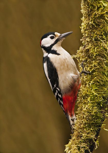 A great spotted #woodpecker clings to a mossy tree trunk. Find woods for wildlife-watching at http://www.woodlandtrust.org.uk/visiting-woods/map/?utm_source=pinterest&utm_medium=social&utm_campaign=wt_2014 #GreatSpottedWoodPecker #woodland #wildlife #nature #ForestRetreat #UKgetaway
