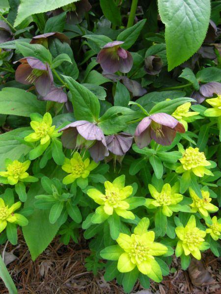 Shade pairing for spring - Euphorbia polychroma and Helleborus x hybridus 'Blue Lady'