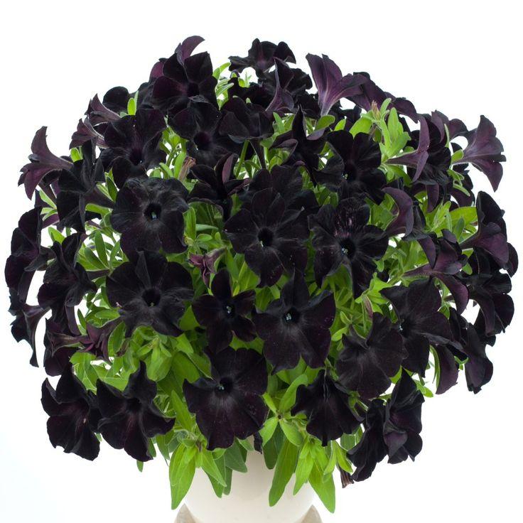 Petunia Black Velvet   5 Large Plug Plants