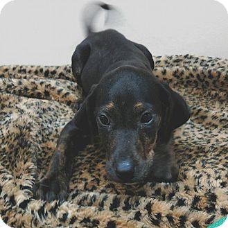 Garden City, MI - Hound (Unknown Type)/Blue Heeler Mix. Meet Charmander, a puppy for adoption. http://www.adoptapet.com/pet/15660920-garden-city-michigan-hound-unknown-type-mix