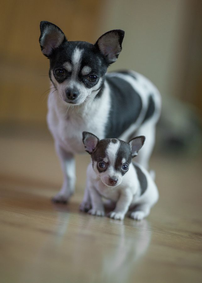 33 best Teacup Chihuahuas and Chihuahua Puppies images on ...