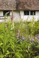 Fingerbøl blev dyrket til medicinske formål. Træskomagerens have, Kirke-Søby. Thimble was cultivated for medicinal purposes.