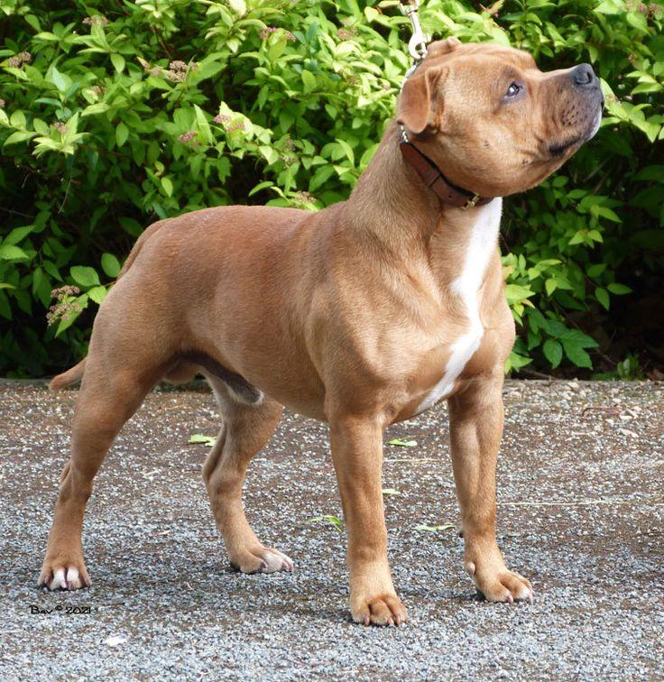 Staffordshire Bull Terrier | Origin: UK