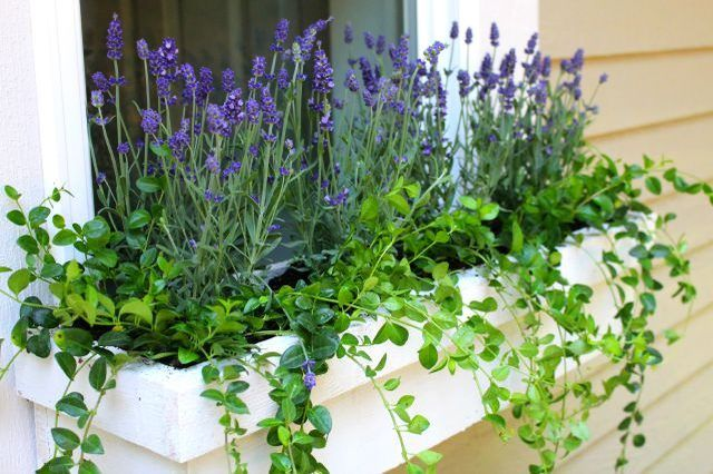 When it comes to planting window boxes, perennial flowers are the bomb diggety. All the cool cats know, buying annuals is lame.