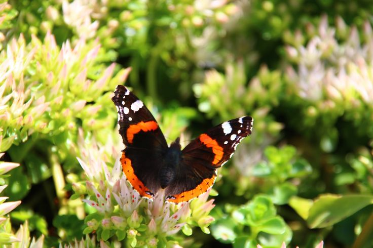 The beautiful butterfly Atalanta