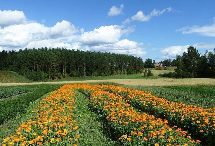 FRANTSILA - Pionnière de la culture biologique en Finlande, la ferme Frantsila est fabricant de produits naturels et bio, reconnus pour ses bienfaits sur la santé, la beauté et le bien-être, depuis plus de 30 ans.. https://www.frantsila.eu/la-ferme-biologique-frantsila #cosmétiquebio #cosmétiques #beauté #santé #santéholistique #phytothérapie #plantemédicinale #biologique #bio #bienêtre #Finlande #Ayurvéda #médicinechinoise #élixirsflora