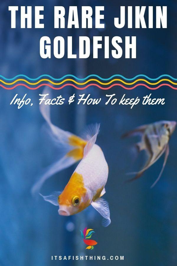 Goldfish Care Sheet Everything You Need To Know On One Page Goldfish Care Pet Fish Goldfish