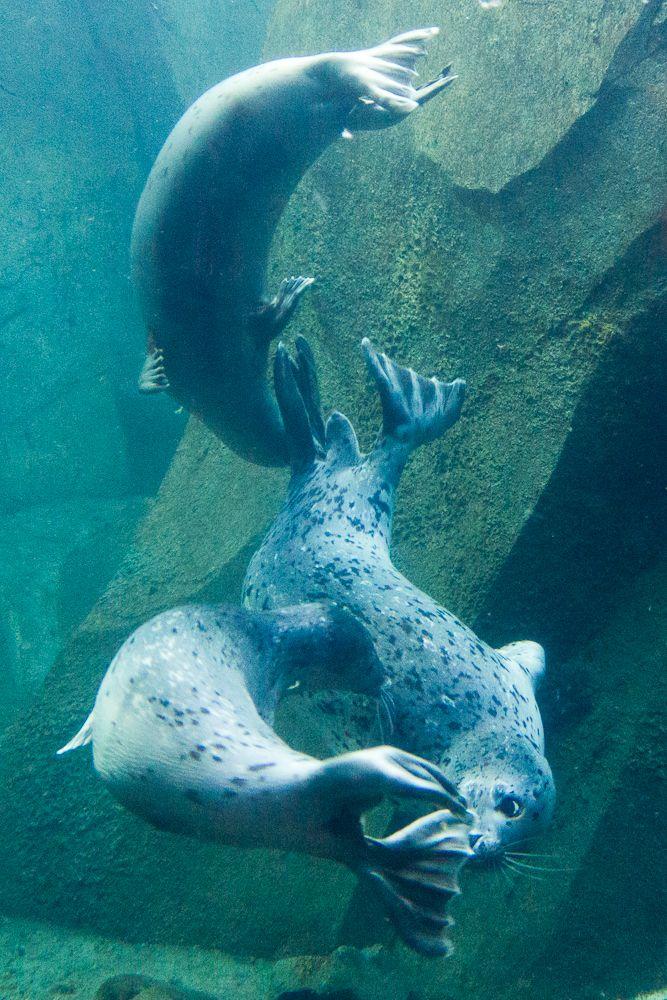 Harbor seals at the Alaska SeaLife Center.