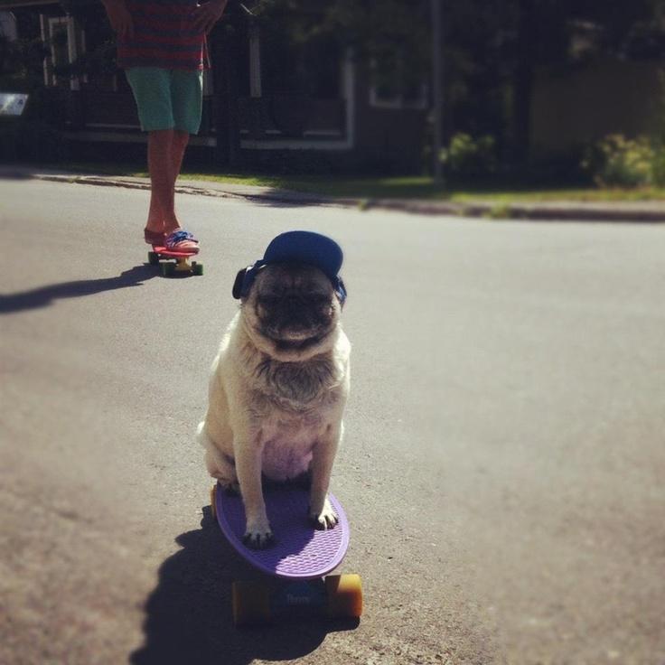 pug on penny board! lov'in it