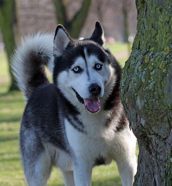 White German Shepherd Blue Eyes Puppies, german shepherds…