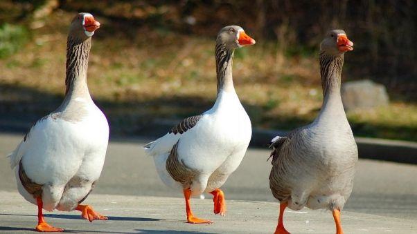 Wallpaper geese, birds, walk, three, wings