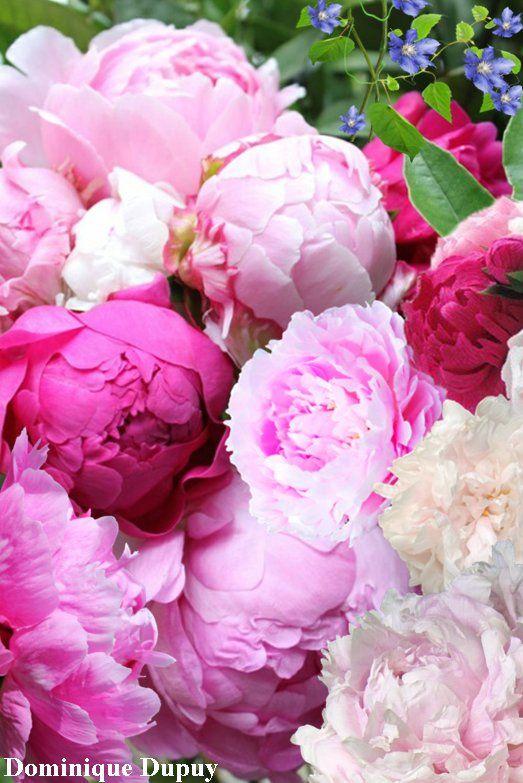 Pivoines fleurs pinterest Fleurs pivoines